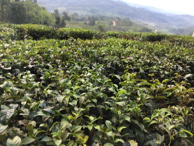 サバティーの茶畑